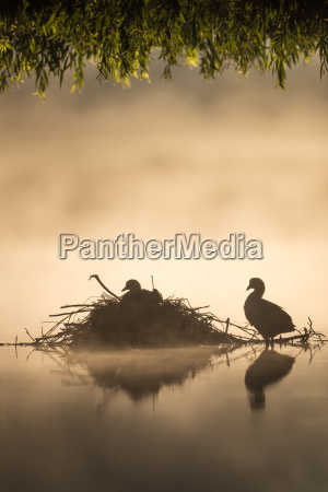 two coots fulica atra beneath the